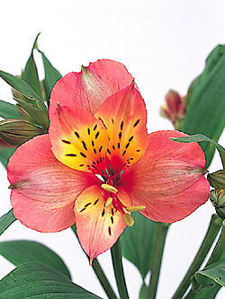 http://shoeshe.files.wordpress.com/2008/06/alstroemeria.jpg